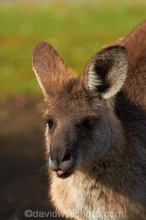 Animal;Animals;Aus;australasia;Australia;Australian;austrlian;ear;ears;eastern-gray-kangaroo;eastern-gray-kangaroos;gray-kangaroo;gray-kangaroos;Grey-Kangaroo;Grey-Kangaroos;head;heads;Kangaroo;Kangaroos;Macropus-giganteus;Mammal;Mammals;Marsupial;Marsupials;Nature;portrait;portraits;QLD;Queensland;skippy;Wild;Wildlife;Zoology