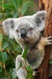 Animal;Animals;arm;arms;Australia;australian;claw;claws;climb;climbs;Close-up;Close_up;currumbin;currumbin-wildlife-sanctuary;eucalyptus;face;feet;finger;fingers;foot;fur;furry;gold-coast;gum-tree;hand;hands;Koala;Koalas;Mammal;Mammals;Marsupial;Marsupials;Nature;Oceania;paw;paws;Phascolarctos;Phascolarctos-cinereus;queensland;toe;toes;tree;trees;Wild;Wildlife;zoo;Zoology