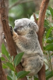 Animal;Animals;Australia;australian;climb;climbs;Close-up;Close_up;currumbin;currumbin-wildlife-sanctuary;eucalyptus;face;fur;furry;gold-coast;gum-tree;Koala;Koalas;Mammal;Mammals;Marsupial;Marsupials;Nature;Oceania;Phascolarctos;Phascolarctos-cinereus;queensland;tree;trees;Wild;Wildlife;zoo;Zoology