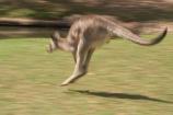 Animal;Animals;australasia;Australia;australian;austrlian;blur;blurred;blurry;eastern-gray-kangaroo;eastern-gray-kangaroos;gray-kangaroo;gray-kangaroos;Grey-Kangaroo;Grey-Kangaroos;jump;jumper;jumping;jumps;Kangaroo;Kangaroos;Macropus-giganteus;Mammal;Mammals;Marsupial;Marsupials;Nature;skippy;Wild;Wildlife;Zoology