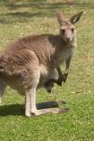 Animal;Animals;australasia;Australia;australian;austrlian;babies;baby;eastern-gray-kangaroo;eastern-gray-kangaroos;gray-kangaroo;gray-kangaroos;Grey-Kangaroo;Grey-Kangaroos;infant;infants;joey;joeys;Kangaroo;Kangaroos;Macropus-giganteus;Mammal;Mammals;Marsupial;Marsupials;Nature;pouch;pouches;skippy;Wild;Wildlife;Zoology