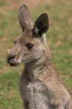 Animal;Animals;australasia;Australia;australian;austrlian;ear;ears;eastern-gray-kangaroo;eastern-gray-kangaroos;gray-kangaroo;gray-kangaroos;Grey-Kangaroo;Grey-Kangaroos;head;heads;Kangaroo;Kangaroos;Macropus-giganteus;Mammal;Mammals;Marsupial;Marsupials;Nature;portrait;portraits;skippy;Wild;Wildlife;Zoology