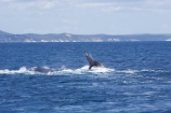Animal;Animals;australia;australian;Cetacean;Cetaceans;Coast;dive;hervey-bay;humpback;Humpback-Whale;humpbacks;Marine-life;Marine-mammal;Marine-mammals;Megaptera-novaeangliae;Nature;ocean;oceans;pacific-ocean;Power;queensland;Sea;Sea-mammal;Sea-mammals;seas;splash;splashes;splashing;Tail;Tails;tasman-sea;Water;Whale;whale-watch;whale-watching;whale_watch;whale_watching;Whales