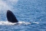Animal;Animals;australia;australian;blow-hole;blow-holes;blow_hole;blow_holes;blowhole;blowholes;breach;breaches;breaching;Cetacean;Cetaceans;Coast;harvey;head;heads;hervey-bay;humpback;Humpback-Whale;humpbacks;jump;jumping;Marine-life;Marine-mammal;Marine-mammals;Megaptera-novaeangliae;mouth;mouths;Nature;ocean;oceans;pacific-ocean;Power;queensland;Sea;Sea-mammal;Sea-mammals;seas;splash;splashes;splashing;spray;sprays;tasman-sea;Water;Whale;whale-watch;whale-watchers;whale-watching;whale_watch;whale_watchers;whale_watching;Whales