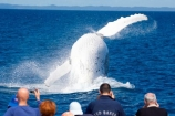 Animal;Animals;australia;australian;big;breach;breaches;breaching;Cetacean;Cetaceans;Coast;fin;fins;flipper;flippers;giant;gigantic;harvey;head;heads;hervey-bay;huge;humpback;Humpback-Whale;humpbacks;jump;jumping;Marine-life;Marine-mammal;Marine-mammals;Megaptera-novaeangliae;Nature;ocean;oceans;pacific-ocean;Power;queensland;Sea;Sea-mammal;Sea-mammals;seas;spectacular;splash;splashes;splashing;spray;sprays;tasman-sea;Water;Whale;whale-watch;whale-watchers;whale-watching;whale_watch;whale_watchers;whale_watching;Whales