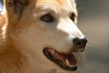 Animal;Animals;Australia;australian;Canid;Canids;Canine;Canines;Canis-familiaris-dingo;Dingo;dog;Mammal;Mammals;Nature;queensland;Wild;Wildlife;Zoology