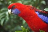 Animal;animals;Ara;australia;australian;Avian;Beak;Bird;birds;Blue;Bright;Close-up;Color;Colored;Colorful;Colors;Colour;Coloured;Colourful;Colours;crimson-rosella;Crimson-Rosellas;currumbin;Exotic;Fauna;Feather;Habitat;lamington-national-park;Natural;Nature;OReillys-Rainforest;Oceania;Ornithology;Oz;Parrot;parrots;Perch;Perching;Platycercus-elegans;Plumage;Portrait;queensland;Rainbow-Lorikeet;rainbow-lorikeets;Red;rosella;rosellas;Trichoglossus-Haematodus;Vivid;wild;Wildlife;Wing
