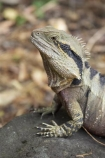 animal;animals;close-up;close_up;creature;Eastern-Water-Dragon;eastern-water-dragons;herpetoculture;herpetoid;herpetologist;herpetology;herpeton;lizard;Physignathus-lesueurii;Physignathus-lesueurii-lesueuri;reptile;reptiles;reptilian;scale;skin;texture;tropical;vertebrate;water-dragon