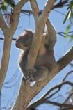 Animal;Animals;Australia;australian;climb;climbs;Close-up;Close_up;eucalypts;eucalyptus;face;fur;furry;gum;gum-tree;gums;Koala;Koalas;Mammal;Mammals;Marsupial;Marsupials;Nature;Oceania;Phascolarctos;Phascolarctos-cinereus;tree;trees;victoria;Wild;Wildlife;zoo;Zoology
