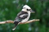 Animal;animals;australasian;australia;australian;Avian;Beak;Bird;birds;Brown-Kingfisher;Close-up;cookaburra;cookaburras;Dacelo-gigas;Dacelo-novaeguineae;Fauna;Feather;Giant-Kingfisher;Habitat;kingfisher;kingfishers;kookaburra;kookaburras;Laughing-Jackass;Laughing-Jackasses;Laughing-Kingfisher;laughing-kookaburra;laughing-kookaburras;Natural;Nature;Oceania;Ornithology;Oz;Perch;Perching;Plumage;Portrait;wild;Wildlife;Wing