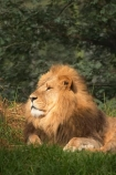 africa;african;animal;animals;australasian;Australia;australian;carnivore;carnivores;cat;cats;dominant;east-africa;feline;felines;game-park;game-parks;game-viewing;grasslands;hunger;hungry;laziness;lazy;lions;male;mammal;mammals;mane;manes;Melbourne;melbourne-zoo;Panthera-leo;park;parks;plain;plains;predator;predators;pride-leader;safari;safaris;savana;savanah;savanna;savannah;Victoria;wild;wildlife;zoo;zoology;zoos
