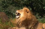 africa;african;animal;animals;australasian;Australia;australian;bite;canines;carnivore;carnivores;cat;cats;dominant;feline;felines;game-park;game-parks;game-viewing;grasslands;hunger;hungry;laziness;lazy;lions;male;mammal;mammals;mane;manes;Melbourne;melbourne-zoo;mouth;mouths;Panthera-leo;park;parks;plain;plains;predator;predators;pride-leader;roar;roaring;safari;safaris;savana;savanah;savanna;savannah;shout;shouting;shouts;sleepiness;sleepy;teeth;tired;Victoria;wild;wildlife;yawn;yawning;yell;yelling;yells;zoo;zoology;zoos