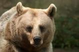 australasia;Australia;australian;bear;bears;Brown-Bear;brown-bears;Melbourne-Zoo;Ursus-arctos-syriacus;Victoria;zoos