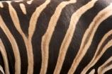 africa;african;animal;animals;black;black-and-white;equine;Equus-burchelli;game-park;game-parks;game-viewing;genus-equus;grasslands;mammal;mmmals;pattern;patterns;plain;plains;safari;safaris;savana;savanah;savanna;savannah;stripe;striped;stripes;stripped;white;wild;wildlife;zebra;zebras;zoology