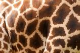 africa;african;animal;animals;australasian;Australia;australian;brown;game-park;game-parks;game-viewing;Giraffa-camelopardalis;Giraffa-camelopardalis-rothschi;giraffe;giraffes;grasslands;height;long-neck;mammal;Melbourne;melbourne-zoo;park;parks;pattern;patterns;plain;plains;Rothschilds-Giraffe;safari;safaris;savana;savanah;savanna;savannah;tall;Victoria;white;wild;wildlife;zoo;zoology;zoos