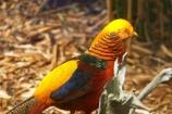 Australia;bird;birds;blue;chinese-pheasant;color;colorful;colour;colourful;game-bird;game-birds;gold;golden-pheasant;green;male;Melbourne-Zoo;Pheasant;pheasants;red;Victoria;yellow