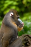 africa;african;animal;animals;australasian;Australia;australian;baboons;blue;dangerous;game-park;game-parks;game-viewing;mammal;mammals;mandrill;mandrills;Melbourne;melbourne-zoo;papio-sphinx;park;parks;pink;primate;primates;red;safari;safaris;Victoria;wild;wildlife;zoo;zoos