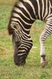 africa;african;animal;animals;australasian;Australia;australian;black;black-and-white;equine;Equus-burchelli;game-park;game-parks;game-viewing;genus-equus;grasslands;graze;grazing;mammal;Melbourne;mmmals;park;parks;pattern;patterns;plain;plains;safari;safaris;savana;savanah;savanna;savannah;stripe;striped;stripes;stripped;Victoria;werribee;Werribee-Open-Range-Zoo;white;wild;wildlife;zebra;zebras;zoo;zoology;zoos