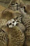 africa;african;animal;animals;australasian;Australia;australian;cute;game-park;game-parks;game-viewing;grey-meerkat;group;mamal;mamals;mammal;mammals;meercat;meercats;meerkat;meerkats;Melbourne;park;parks;protect;safari;safaris;Suricata-suricatta;suricate;suricates;Victoria;werribee;Werribee-Open-Range-Zoo;wild;wildlife;zoo;zoos