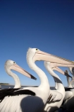 Animal;Animals;Aquatic-bird;Aquatic-birds;Australasian;Australia;Australian;Australian-Pelican;Australian-Pelicans;avian;beak;bill;bird;bird-watching;bird_watching;birds;crowd;eco-tourism;eco_tourism;ecotourism;Fauna;Feather;Feeding-the-Pelicans;flock;flocks;group;lots;many;Marine-bird;Marine-birds;N.S.W.;Natural;Nature;New-South-Wales;NSW;Oceania;Ornithology;Pelecanus-conspicillatus;Pelican;Pelicans;The-Entrance;water;wild;Wildlife;Zoology