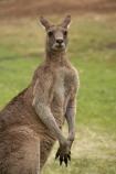 Animal;Animals;australasia;Australasian;Australia;Australian;eastern-gray-kangaroo;eastern-gray-kangaroos;eastern-grey-kangaroo;eastern-grey-kangaroos;gray-kangaroo;gray-kangaroos;Grey-Kangaroo;Grey-Kangaroos;head;heads;Kangaroo;Kangaroos;Macropodidae;Macropus-giganteus;Mammal;Mammals;Marsupial;Marsupials;marsupium;Mid-North-Coast;Mid-North-Coast-NSW;Mid-North-Nsw;Mid-Northern-NSW;N.S.W.;Nature;New-South-Wales;NSW;portrait;portraits;pouch;skippy;Trial-Bay;Wild;Wildlife;Zoology