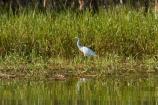 Animal;animals;Ardea-intermedia;Australia;Australian;Avian;Beak;billabong;billabongs;bird;bird-watching;bird_watching;birds;calm;eco-tourism;eco_tourism;ecotourism;egret;egrets;Fauna;flood-plain;flood-plains;floodplain;floodplains;Gagadju;heron;herons;Intermediate-Egret;Kakadu;Kakadu-billabong;Kakadu-billabongs;Kakadu-flood-plain;Kakadu-flood-plains;Kakadu-floodplain;Kakadu-floodplains;Kakadu-N.P.;Kakadu-National-Park;Kakadu-NP;Kakadu-wetland;Kakadu-wetlands;N.T.;national-parks;Natural;Nature;Northern-Territory;NT;Ornithology;placid;quiet;reflection;reflections;serene;smooth;still;Top-End;tranquil;UN-world-heritage-area;UN-world-heritage-site;UNESCO-World-Heritage-area;UNESCO-World-Heritage-Site;united-nations-world-heritage-area;united-nations-world-heritage-site;water;wetland;wetlands;white-heron;white-herons;wild;wildlife;world-heritage;world-heritage-area;world-heritage-areas;World-Heritage-Park;World-Heritage-site;World-Heritage-Sites;Yellow-Water;Yellow-Water-Billabong;Yellow-Water-Wetland;Yellow-Water-Wetlands