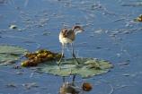 Animal;animals;Australia;Australian;Avian;Beak;billabong;billabongs;bird;bird-watching;bird_watching;birds;calm;eco-tourism;eco_tourism;ecotourism;Fauna;flood-plain;flood-plains;floodplain;floodplains;Gagadju;juvenile;Kakadu;Kakadu-billabong;Kakadu-billabongs;Kakadu-flood-plain;Kakadu-flood-plains;Kakadu-floodplain;Kakadu-floodplains;Kakadu-N.P.;Kakadu-National-Park;Kakadu-NP;Kakadu-wetland;Kakadu-wetlands;lilies;lily;lily-pad;lily-pads;N.T.;national-parks;Natural;Nature;Northern-Territory;NT;Ornithology;placid;quiet;reflection;reflections;serene;smooth;still;Top-End;tranquil;UN-world-heritage-area;UN-world-heritage-site;UNESCO-World-Heritage-area;UNESCO-World-Heritage-Site;united-nations-world-heritage-area;united-nations-world-heritage-site;water;wetland;wetlands;wild;wildlife;world-heritage;world-heritage-area;world-heritage-areas;World-Heritage-Park;World-Heritage-site;World-Heritage-Sites;Yellow-Water;Yellow-Water-Billabong;Yellow-Water-Wetland;Yellow-Water-Wetlands