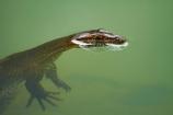 Australasian;Australia;Australian;Kimberley;Kimberley-Region;lizard;lizards;monitor-lizard;monitor-lizards;Monitors;swimming;The-Grotto;The-Kimberley;Varanidae;W.A.;WA;West-Australia;Western-Australia;Wyndham