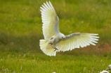 Animal;animals;Australasian;Australia;Australian;avian;Bare_eyed-Cockatoo;Beak;bird;bird-watching;bird_watching;birds;Cacatua-sanguinea;Cacatua-sanguinea-sanguinea;Cacatuidae;Cacatuinae;cockatoo;cockatoos;Derby;eco-tourism;eco_tourism;ecotourism;Fauna;Feather;flight;fly;flying;Kimberley;Kimberley-Region;Little-Corella;Little-Corellas;Natural;Nature;Ornithology;The-Kimberley;W.A.;WA;West-Australia;Western-Australia;white-cockatoo;wild;Wildlife;Wing
