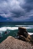 australasian-gannet;birds;bluff;bluffs;cliff;cliffs;cloud;clouds;coast;coastal;colonies;gannets;headland;morus-serrator;native;natural-history;nature;new-zealand;ocean;pacific;promontory;sea