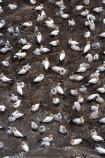 Aquatic;australasian-gannet;birds;birds,Community;colonies;Crowd;Crowded;Crowds;Group;Groups;Many;Marine-bird;Marine-birds;Mass;morus-serrator;native;natural-gannets;nature;nesting;new-zealand;Outdoor;Outdoors;Wild;Wildlife
