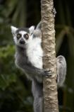 animal;animals;Auckland;Auckland-Zoo;fauna;lemur;Lemur-catta;lemurs;mammal;mammals;N.I.;N.Z.;New-Zealand;NI;North-is;North-Island;NZ;primate;primates;Ring-tailed-Lemur;Ring-tailed-Lemurs;Ring_tailed-Lemur;Ring_tailed-Lemurs;Ringtailed-Lemur;Ringtailed-Lemurs;wildlife;wildlife-park;wildlife-parks;zoo;zoos;zoozs