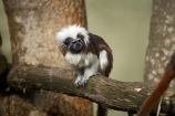 animal;animals;Auckland;Auckland-Zoo;Cotton-top-tamarin;Cotton-top-tamarins;Cotton_top-tamarin;Cotton_top-tamarins;Cottontop-tamarin;Cottontop-tamarins;fauna;mammal;mammals;N.I.;N.Z.;New-Zealand;NI;North-is;North-Island;NZ;primate;primates;Saguinus-oedipus;tamarin;tamarins;wildlife;wildlife-park;wildlife-parks;zoo;zoos;zoozs