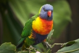 Animal;animals;Auckland;Auckland-Zoo;Avian;bird;bird-watching;bird_watching;birds;color;colorful;colour;colourful;eco-tourism;eco_tourism;ecotourism;Fauna;lorikeet;lorikeets;N.I.;N.Z.;Natural;Nature;New-Zealand;NI;North-is;North-Island;NZ;Ornithology;parrot;parrots;Rainbow-lorikeet;Rainbow-lorikeets;Trichoglossus-haematodus-oluccanus;wildlife;wildlife-park;wildlife-parks;zoo;zoos;zoozs