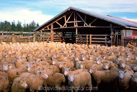 agriculture;Animal;Animals;Catlins;contained;Countryside;Crowd;Crowded;Crowds;Daytime;farm;Farm-animals;farming;flock;Flocks;Herbivore;Herbivores;Herbivorous;herd;Herds;Livestock;Mammal;Mammals;Mass;mob;New-Zealand;Niagara;nz;Outdoor;Outdoors;Outside;pen;penned;Rural;shearing-shed;shearing-sheds;shed;sheds;Sheep;sheep-shed;South-Island;Southland;woolly;woolsheds