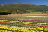 bloom;blooming;blooms;color;colorful;colors;colour;colourful;colours;country;countryside;cultivation;farm;farming;farmland;farms;field;fields;flora;floral;flower;flowers;fresh;garden;grow;growing;growth;horticulture;N.Z.;New-Zealand;NZ;paddock;paddocks;renew;rural;S.I.;season;seasonal;seasons;SI;South-Is.;South-Island;spring;springtime;Tapanui;tulip;tulip-bulb-growing;tulip-field;Tulip-Fields;Tulipa-sp.;tulips;West-Otago;yellow