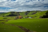 agricultural;agriculture;Clutha-District;country;countryside;farm;Farm-Building;Farm-Buildings;Farm-Shed;Farm-Sheds;farming;farmland;farms;field;fields;grass;grassy;green;green-grass;livestock;mammal;mammals;meadow;meadows;N.Z.;New-Zealand;Otago;paddock;paddocks;pasture;pastures;rural;S.I.;Shearing-Shed;Shearing-Sheds;sheep;Sheep-Shed;Sheep-Sheds;SI;South-Is;South-Island;South-Otago;Sth-Is;stock;Waitahuna;Wool-Shed;Wool-Sheds;woolshed;woolsheds