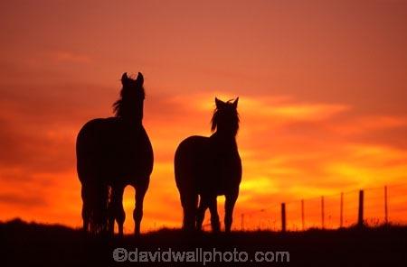 horse;horses;silhouette;silhouettes;silhouetted;sundown;oranges;yellow;colour;colours;color;colors;sky;setting;fence;fenceline;curious;equine,mammal;outline;outlines;outlined
