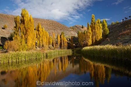 autuminal;autumn;autumn-colour;autumn-colours;autumnal;Bannockburn;calm;Central-Otago;color;colors;colour;colours;Cromwell;deciduous;fall;gold;golden;leaf;leaves;N.Z.;New-Zealand;NZ;Otago;placid;pond;ponds;poplar;poplar-tree;poplar-trees;poplars;quiet;reeds;reflection;reflections;S.I.;season;seasonal;seasons;serene;SI;smooth;South-Is;South-Island;Sth-Is;still;tranquil;tree;trees;water;yellow