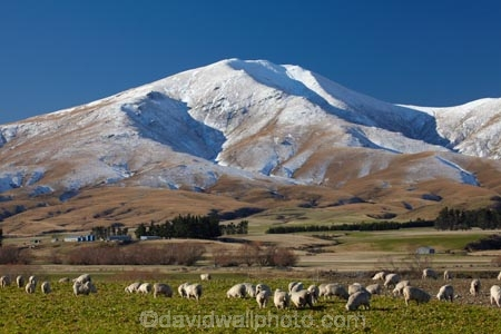 agricultural;agriculture;alp;alpine;alps;altitude;animal;animals;Central-Otago;cold;Coldness;country;countryside;domestic-stock;ewes;extreme-weather;farm;farm-animals;farming;farms;field;fields;flock;flocks;freeze;freezing;herbivore;herbivores;herbivorous;herd;herds;high-altitude;Kakanui-Mountains;Kakanui-Mtns;Kyeburn;livestock;mammal;mammals;Maniototo;meadow;meadows;mount;mountain;mountain-peak;mountainous;mountains;mountainside;mt;N.Z.;New-Zealand;nz;Otago;outdoor;outdoors;outside;paddock;paddocks;pasture;pastures;peak;peaks;Ranfurly;range;ranges;rural;S.I.;Scenic;Scenics;Season;Seasons;Sheep;SI;snow;snow-capped;snow_capped;snowcapped;snowy;South-Is;South-Is.;South-Island;Sth-Is;stock;weather;White;winter;Wintertime;wintery;wintry