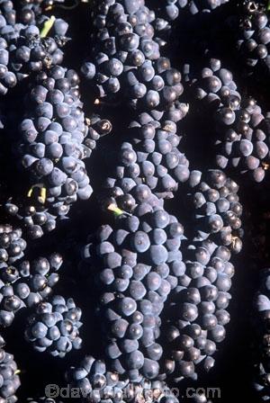 Central-Otago-vineyards;crop;crops;cultivation;grape;grapes;grapevine;harvest;harvested;harvesting;horticulture;red;rural;vine;vines;vineyard;vineyards;vintage;wine;wineries;winery;wines