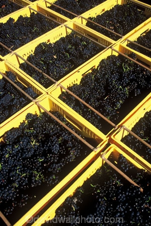 Central-Otago-vineyards;crop;crops;cultivation;grape;grapes;grapevine;harvest;harvested;harvesting;horticulture;pattern;patterns;rectangle;rectangles;red;rural;vine;vines;vineyard;vineyards;vintage;wine;wineries;winery;wines
