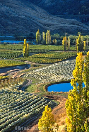crop;crops;cultivation;farm;farming;farms;field;fields;grape;grapes;grapevine;horticulture;poplar;poplar-tree;poplar-trees;poplars;row;rows;rural;tree;trees;vine;vines;vineyard;vineyards;vintage;wine;wineries;winery;wines