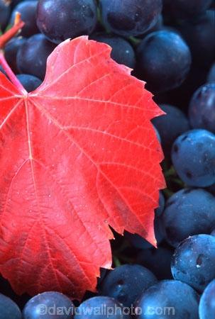 Central-Otago-vineyards;color;colors;colour;colours;crop;crops;cultivation;grape;grapes;grapevine;harvest;harvested;harvesting;horticulture;leaf;leaves;purple;red;rural;vine;vines;vineyard;vineyards;vintage;wine;wineries;winery;wines