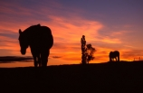 horse;horses;silhouette;silhouettes;silhouetted;sundown;oranges;yellow;colour;colours;color;colors;sky;setting;fence;fenceline;curious;equine,mammal;outline;outlines;outline;tree;trees