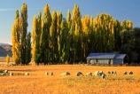 poplars;poplar;shelter-belt;shelter;wind-break;sheep;flock;gold;golden;grass;grazing;paddock;field;shed;corrugated-iron;tin;graze;grass;grasses