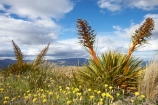 Aciphylla-aurea;alpine;alpine-flower;alpine-flowers;back-country;backcountry;Central-Otago;flower;flower-spikes;flowers;golden;Golden-Spaniard;golden-speargrass;high-altitude;high-country;highcountry;highlands;N.Z.;New-Zealand;NZ;Otago;remote;remoteness;S.I.;SI;South-Island;Speargrass;spike;spikes;tussock;tussock-grass;tussocks;uiplands;upland;uplands