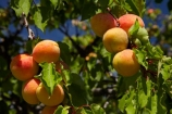 apricot;apricot-orchard;apricot-orchards;apricot-tree;apricot-trees;apricots;Bannockburn;Central-Otago;country;countryside;crop;crops;farm;farming;farmland;farms;field;fruit;fruit-tree;fruit-trees;horticulture;N.Z.;New-Zealand;NZ;orchard;orchards;row;rows;rural;S.I.;SI;South-Is.;South-Island;tree;trees