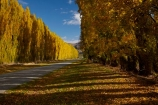 autuminal;autumn;autumn-colour;autumn-colours;autumnal;Central-Otago;color;colors;colour;colours;Cromwell;deciduous;fall;gold;golden;leaf;leaves;N.Z.;New-Zealand;NZ;Otago;poplar;poplar-tree;poplar-trees;poplars;Ripponvale;Ripponvale-Rd;Ripponvale-Road;S.I.;season;seasonal;seasons;SI;South-Is;South-Island;Sth-Is;tree;trees;yellow