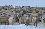 agricultural;agriculture;animal;animals;Central-Otago;cold;Coldness;country;countryside;crowd;crowded;Crowds;Daytime;domestic-stock;drove;droving;ewes;Exterior;extreme-weather;farm;farm-animals;farming;farmland;farms;field;fields;flock;flocks;freeze;freezing;herbivore;herbivores;herbivorous;herd;herds;high-country;Landscape;Landscapes;livestock;mammal;mammals;Maniototo;meadow;meadows;mob;mobs;muster;mustering;N.Z.;natural;Nature;New-Zealand;NZ;Otago;Outdoor;Outdoors;Outside;paddock;paddocks;pasture;pastures;Pig-Root-Highway;Pig-Root-Road;Pig-Route-Highway;Pig-Route-Road;Pigroot;Pigroot-Highway;Pigroot-Road;Pigroute;Pigroute-Highway;Pigroute-Road;rural;S.I.;Scenic;Scenics;Season;Seasons;SH-85;SH85;sheep;SI;snow;snowfall;snowy;South-Is;South-Is.;South-Island;State-Highway-85;State-Highway-Eighty-Five;Sth-Is;stock;The-Pig-Route;The-Pigroot;weather;white;winter;Wintertime;wintery;wintry